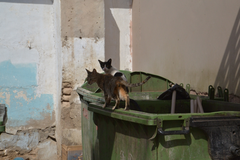 Feral cats are everywhere in the city and even in the desert camps